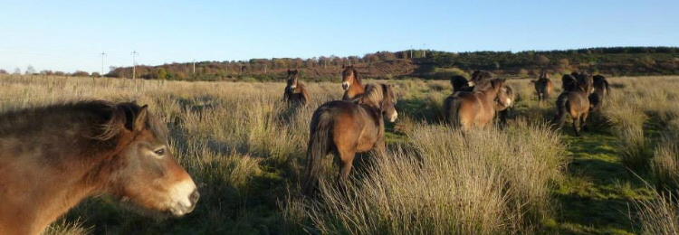 exmoor_pony_conservation