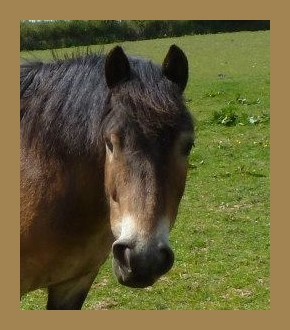 exmoor_pony_adoption